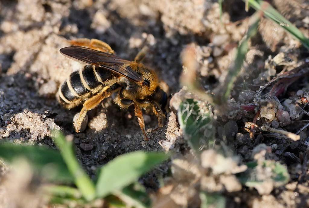 Sandfläche als Brutplatz für Wildbienen. Sandbiene beim Graben ihres Nestes