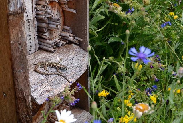Mauereidechse sítzt vor künstlicher Nisthilfe für löcherbrütende Wildbienen.  Willkommener Futterplatz für Mauereidechse.