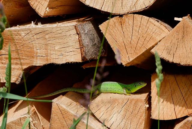 Unterschlupf für Smaragd-Eidechse. Sonnenwarmer Brennholzstapel als Sommerquartier. Jede Struktur zählt