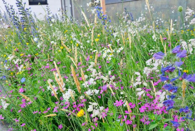 Bunte Magerwiese. Blütenreich in Westendorf