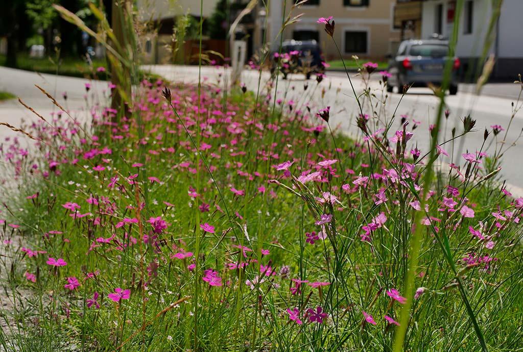 Straßenrand voller Heide- und Karthäusernelken. Nelkenparadies in Fieberbrunn