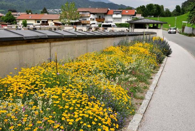Ein Meer gelber Färberkamillen vor der Friedhofsmauer. Volle Pracht am Friedhof in Volders