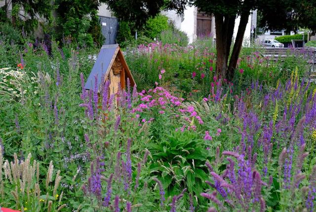 Sehr viel lila Steppensalbei, wenige Königskerzen. Die heimische Staudenmischpflanzung im nächsten Jahr