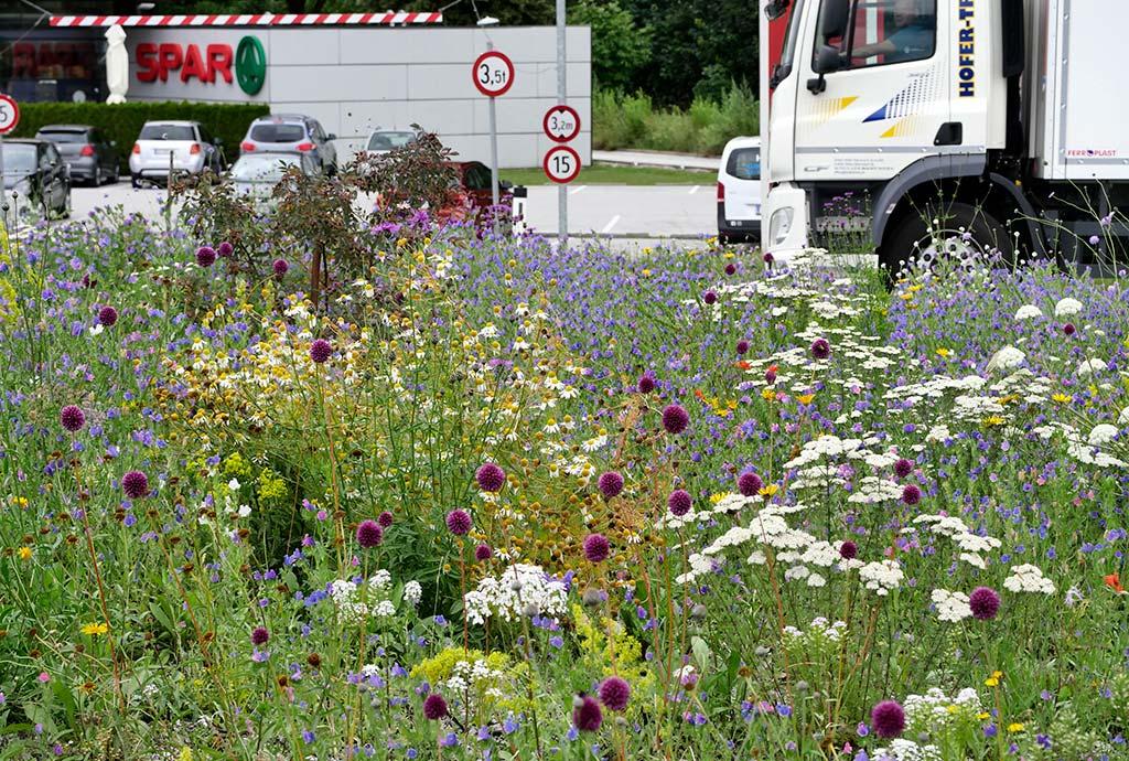 Es blügen pupur Kugellauch, Der Kreisverkehr in Brixlegg ist zwei Jahre später noch artenreicher geworden