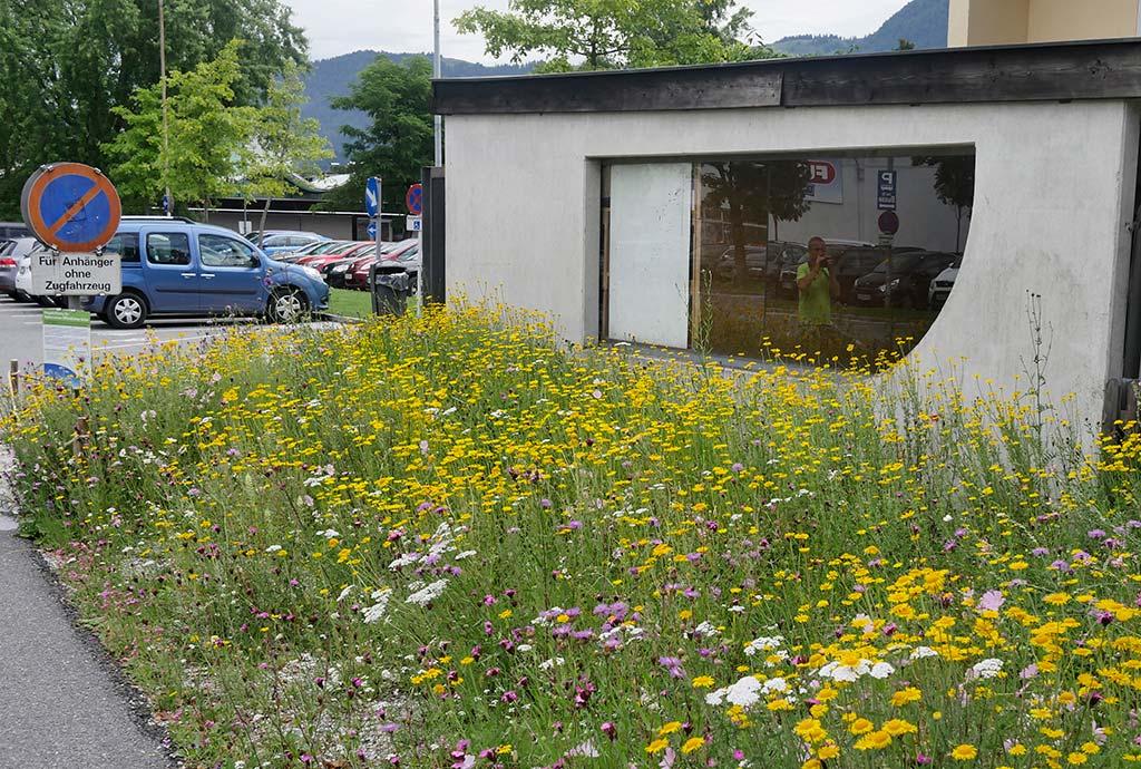 Magerwiesenansaat in St. Johann im 2. Jahr. Wenige rosa Wiesenflockenblumen und sonst alles gelb mit Färberkamille.