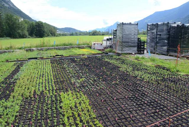 Multitopfpaletten von Wildstauden auf einer Wiese. Mit und durch das Projekt initiert, fing die Wildstaudenproduktion von Martin Widauer an. Zunächst mal 150 der wichtigsten Arten
