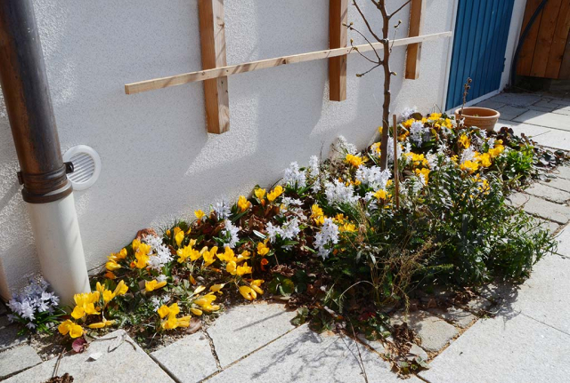 Ein zwei Quadratmeter großes Beet an der Hauswand im Pflaster mit einer Birne als Spalier, darunter blüht es dicht. Frühjahrsfreuden. Erstblüte der gesteckten Wildblumenzwiebeln. Gelbe Krokusse und blauweißer Kaukasischer  Blaustern.