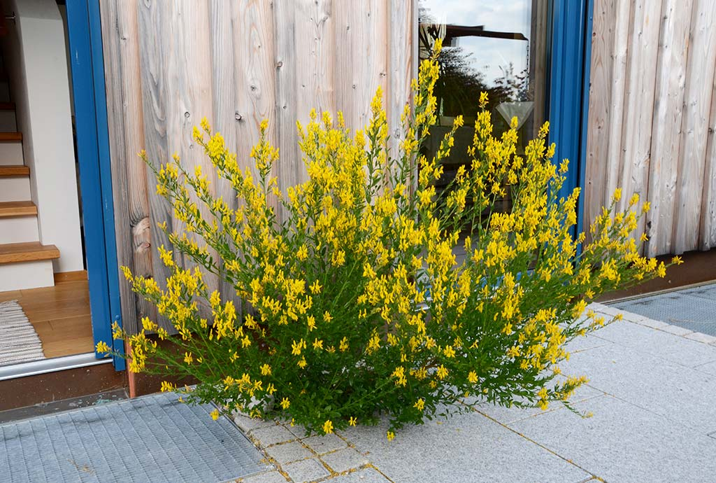 Freiheitstellen, gelb blühender Färberginster statt Terrassenplatten. Mehr dazu im eignenen Kapitel im Naturgartenbau-Buch.