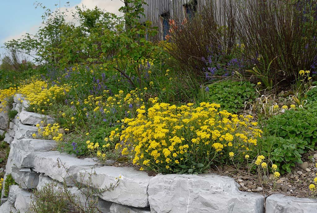 Ein Blumenbeet, überall blüht es gelb. Berg-Steinkraut wurde und hat sich ausgesät.