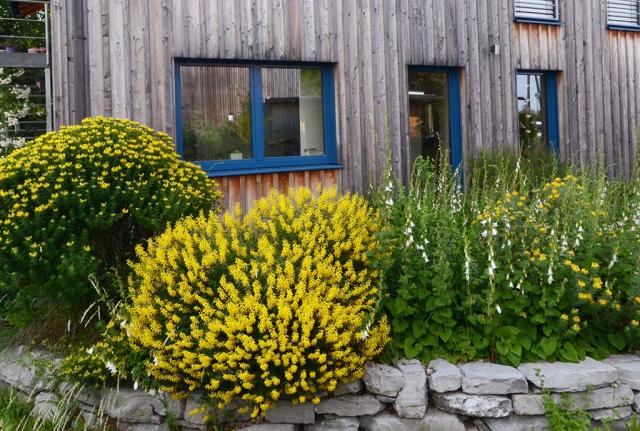 Gelber Meergrüner und Schwarzer Geißklee sowie gelber Kopfginster, ein Fest der Artenvielfalt. Dazwischen die Ansaat von weißblühenden Wolligen Glockenblumen