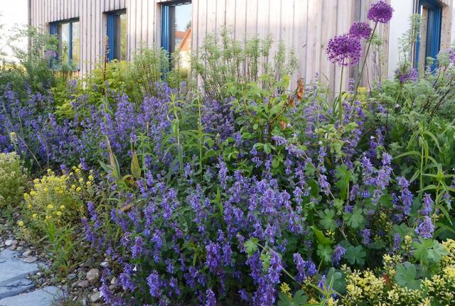 Eine Blauminzensorte hat sich im Rosen-Duftbeet ausgesät