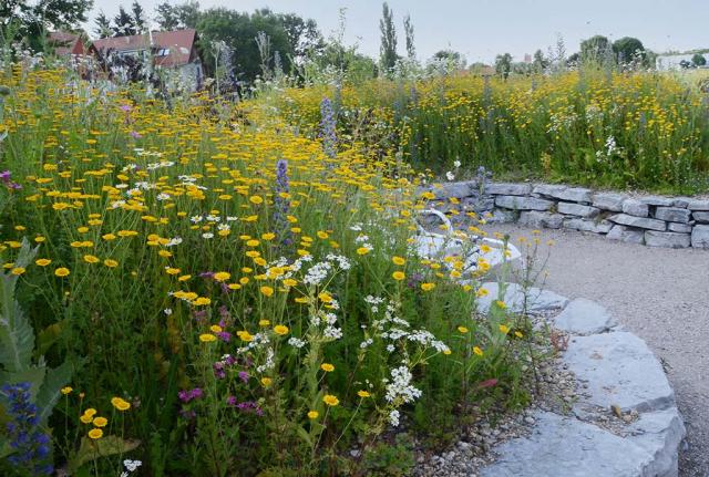 Eine Ansaat mit vielen gelben Färberkamillen, daziwschen einzelne Kerzen vom blauen Nattenkopf. Die Anmut von Wildblumensäumen überzeugt immer wieder.