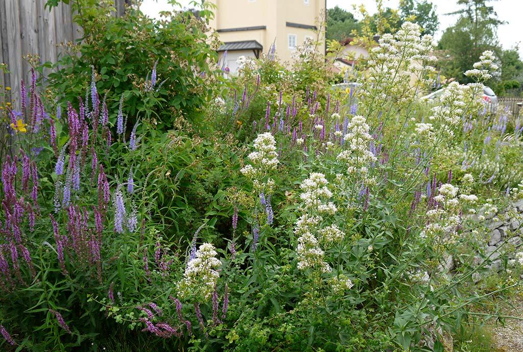 Weiße Spornblumen, hellblauer Blauweiderich, rosa Steppensalbei garnieren große Rosenbüsche. Sehr dichter Bewuchs. Noch später das gleiche Rosen- und Duftbeet. Es ist fast kein Durchkommen und Durchblicken mehr. Die Terrasse dahinter ist intim und nicht mehr einsehbar geworden.