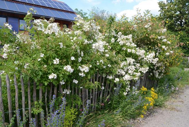 Staketenzaum mit naturnahen Rosen, Blasenstrauch und Blumen vorme. Wer jetzt noch das Haus sieht, hat Glück. Dabei sind es nur ein paar Meter bis zur Terrasse.