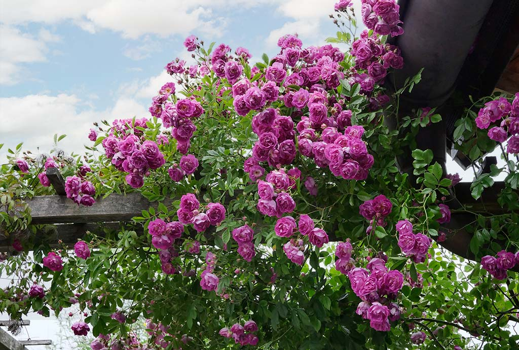 Zahllose rosa-violette Rosenblüten an Holzpergola. Es gibt so viele naturnahe Kletterrosen. Hier umrahmt eine den Torbogen des Eingangs