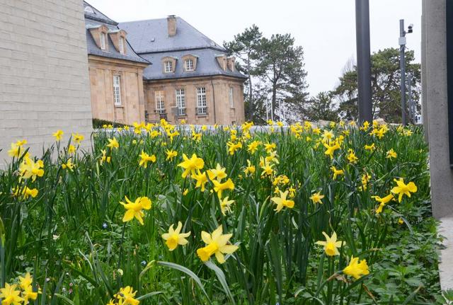 Alles voll gelb bluehender Narzissen. Schon im ersten Fruehjahr schauen aus den neu eingesaeten Kraeuterrasen hunderte von Narzissen heraus