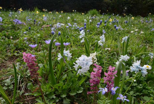 Die ehemeligen englischen Rasen sind nun Wildkräuterrasen voll bunter Zwiebeln. Man sieht rosa und weißen Lerchensporn, dunkelblaue Traubenhyazinten, hellblaue Puschkinien und Blausternchen