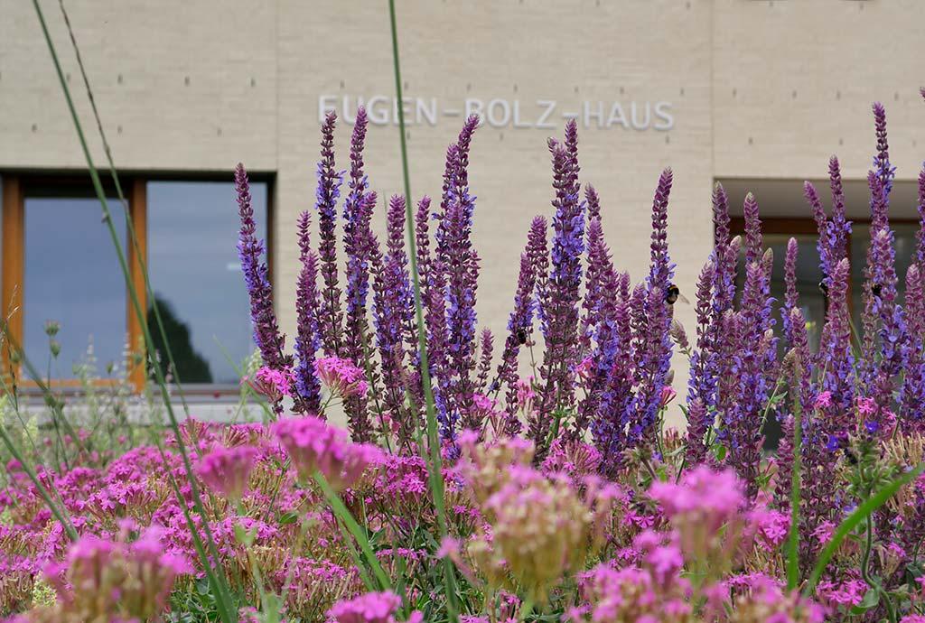 Insektenfreundlicher Garten: Die Blütenkerzen von gepflanztem lila Steppen-Salbei ragt aus einem Meer von gesätem, rosa  Nelken-Leimkraut heraus