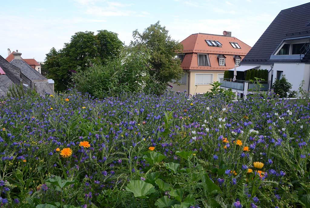 Der Wildblumensaum im ersten Jahr. Blau blühender Wegerich-Natternkopf bringt schon nach drei Monaten ein Bluetenereignis. Dazwischen einige ungefüllte orange Ringelblumen