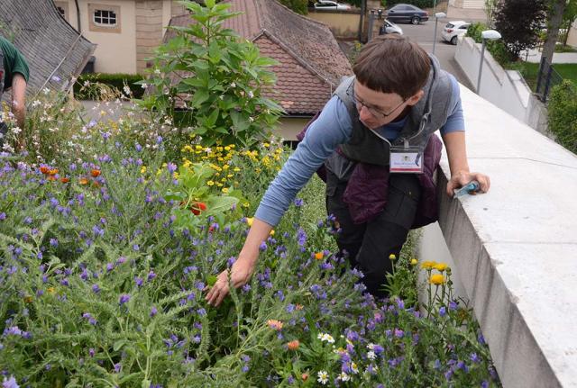 Eine Pflegbegleitung ist notwenig, auch bei unkrautfreien Boeden. Katrin Kaltofen sucht Unkraeuter im dichten Blumenbbestand