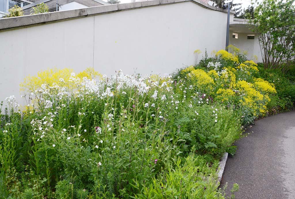 Entlang der Außenmauer bluehen weiße Nachtviolen und gelber Faerberwaid. Wildblumen-Saeume gehoeren als lineare und oft hochwuechsige Elememte zum Beispiel an Mauern.