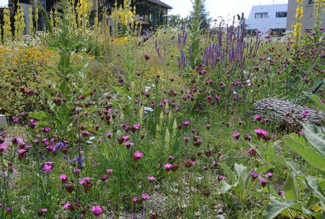 Die insektenfreundliche Staudenpflanzung ein Jahr später. Artenvielfalt und Lebensraum pur. Zwischen Baumstaemmen bluehen viele rosa Karthäuser-Nelken, blaue Bueschel-Glockenblumen, gelbe Koenigskerzen und gelbe Reseden
