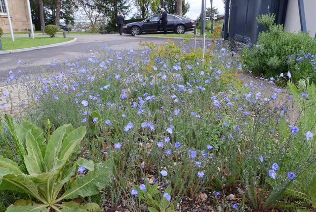 Jedes Beet trägt andere Blüten. Am Eingang trumpft Blauer Lein auf, ebenfalls eine Einsaat
