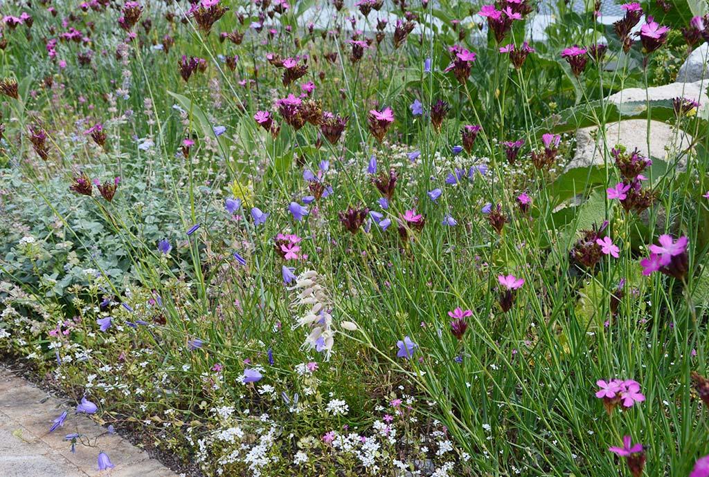 Detail mit blau blühenden Rundblättrigen Glockenblumen und rosa Karthäusernelken