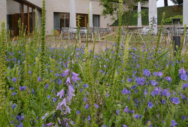 Wildblumenbeet an der Kantine. Nur noch schoen und begeisternd. hellblaue Ackerglockenblumen, tiefblauer Natternkopf und gelbe Reseden