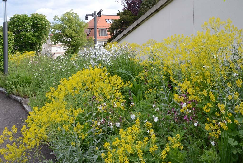 Im zweiten Jahr ist der Wildblumensaum im Mai gelb vor Faerberwaid