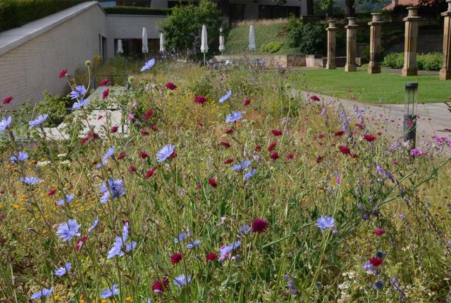 Ein Jahr spaeter. Der Anblick des Beetes an der Kantine hat sich gewandelt. Tiefrote Mazedonische Witwenblumen und himmelblaue Wegwarten.