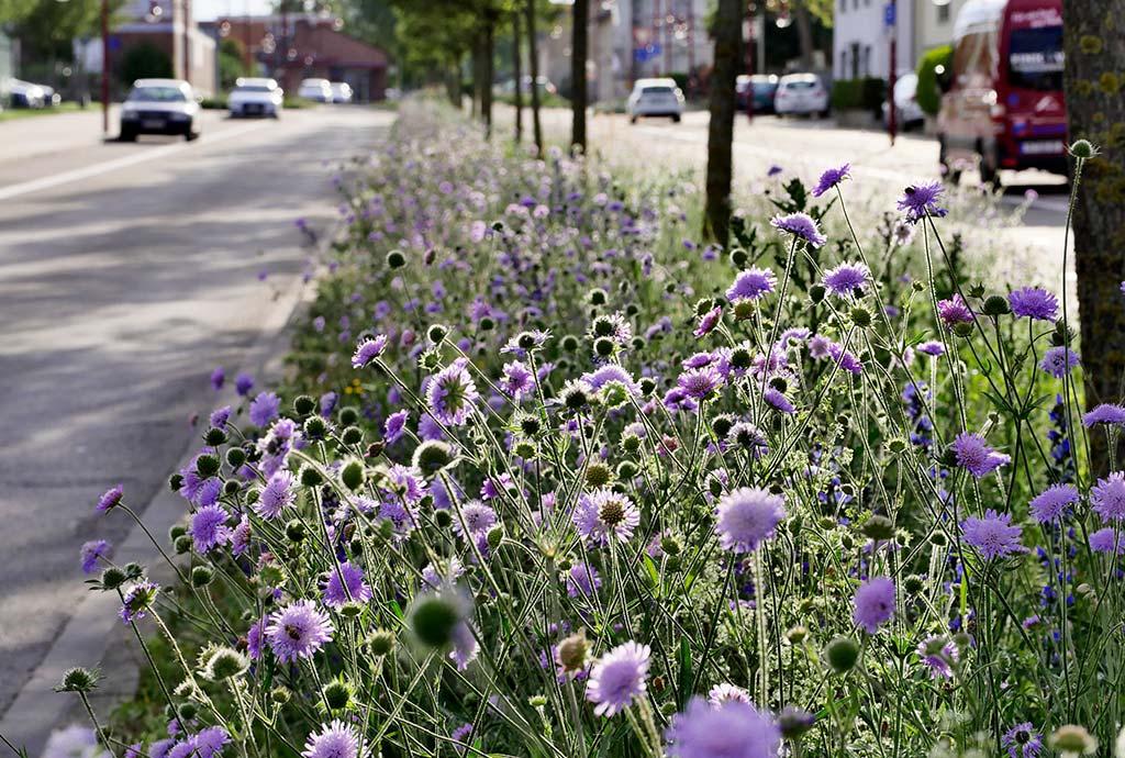 Bretten 2020. Hier haben wir gezaubert. Wildblumen statt Gras. Ein Blütentraum mit einem Meer von Wiesen-Witwenblumen