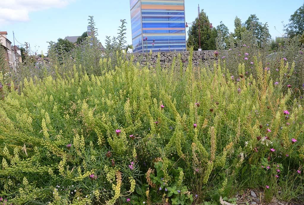 Bretten 2020. Gelbe Reseden blühen in Massen. Siesind für Wildbienen sehr wichtig. Gänseblümchen weniger