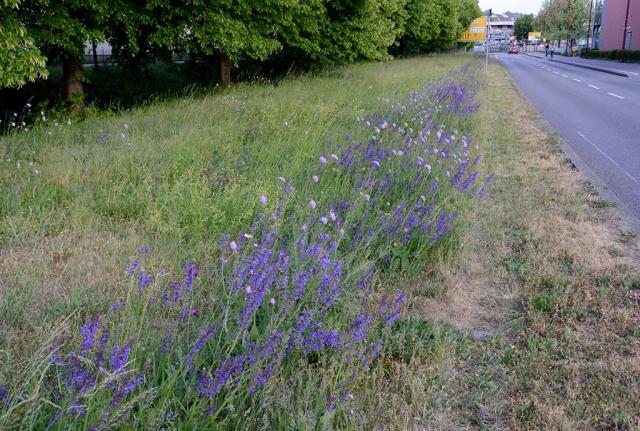 Bretten 2020. Jetzt blühen violetter Wiesensalbei und lila Wiesen-Witwenblumen.