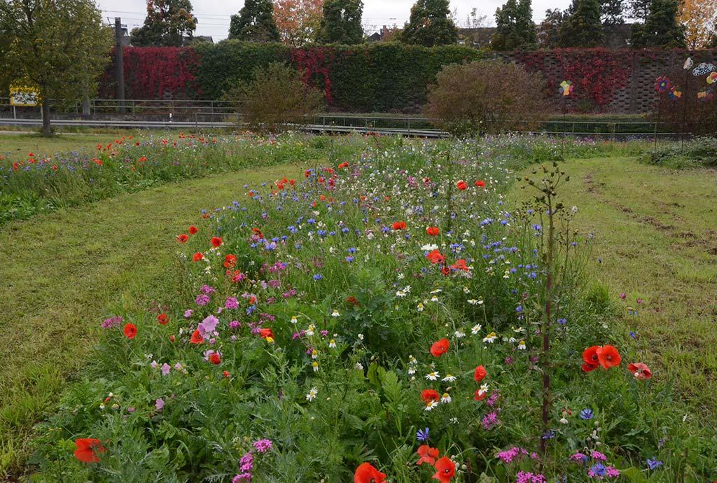 Stutensee 2017. Pflegeworkshop. In der Rasenfläche wurden Streifen gefräst. Der erste Flor ist bunt. Roter Mohn, weiße Kamillen, rosa Nelkenleimkraut und blaue Kornblumen blühen