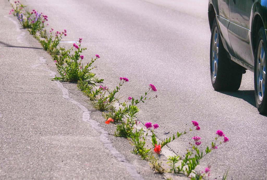 Ettenheim 2019. Wildpflanzen halten sich nicht an ihre Plätze. Sie wandern und wachsen sogar in kleinsten Ritzen. In Ritzen am Randstein blühen roter Mohn undrosa Nelkenleimkraut